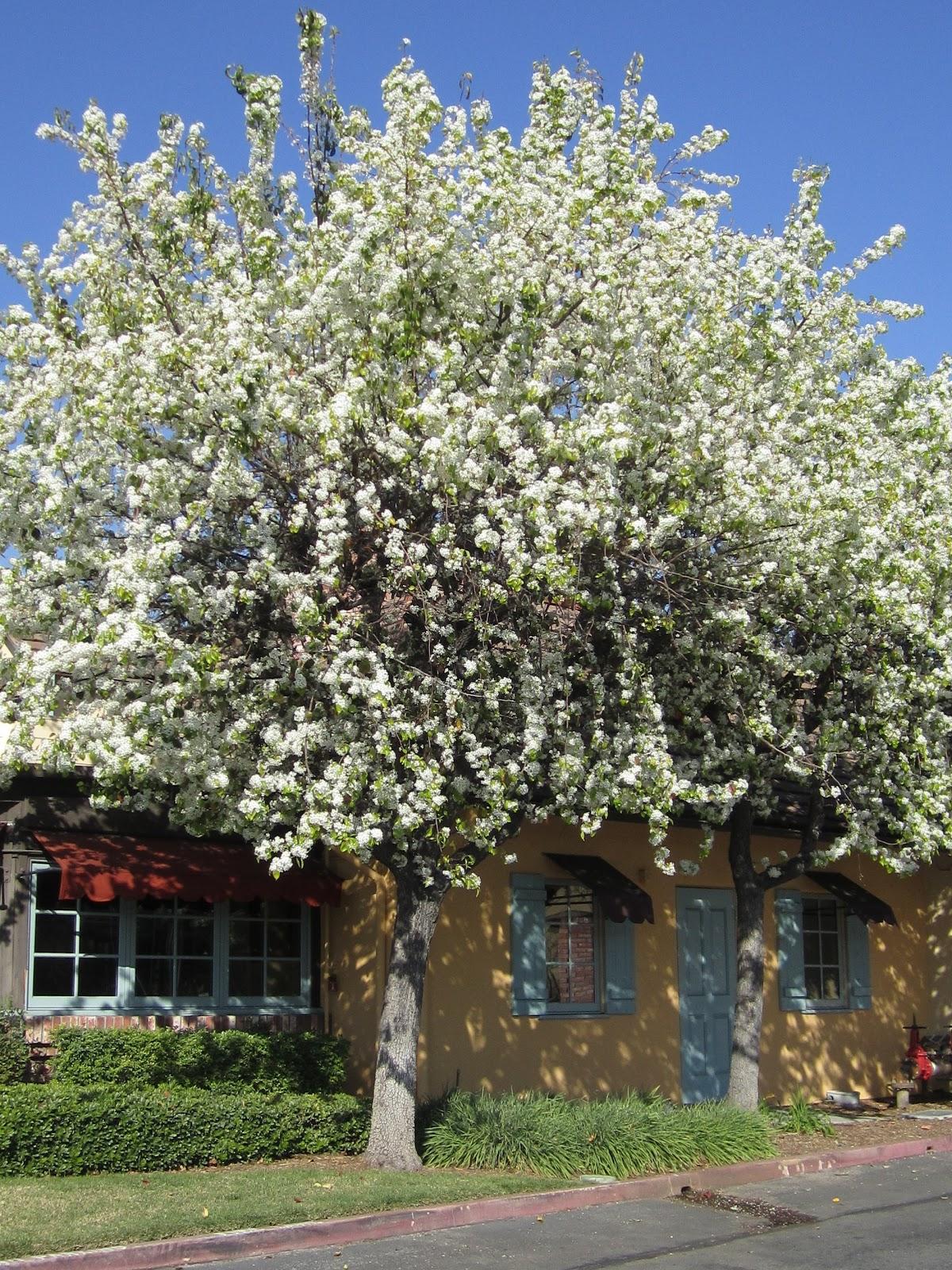 Ornamental Pear Tree Ima