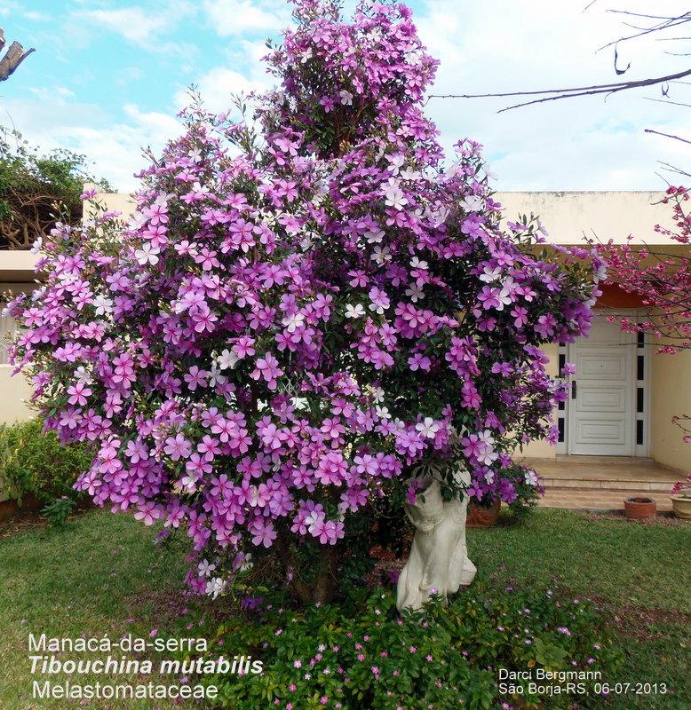 arvore manaca jardim:Plante Uma Vida, Plante Uma Árvore: Árvores de pequeno porte para