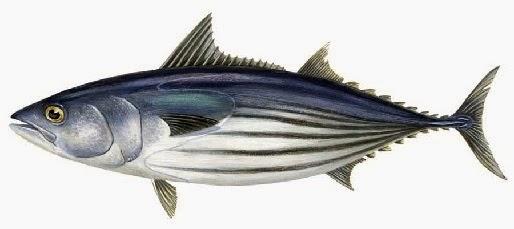 resep umpan, mancing Ikan Cakalang,Tips Mancing Ikan Cakalang,Umpan Ikan Cakalang,Umpan Jitu Mancing Ikan Cakalang, cara memancing laut, Macam-macam Teknik Mancing,
