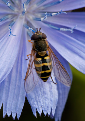 A wasp-mimic Hover Fly perrched on a vivid blue Chichory flower
