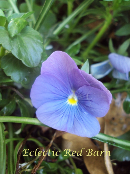 Puple-blue pansy almost hidden in the leaves