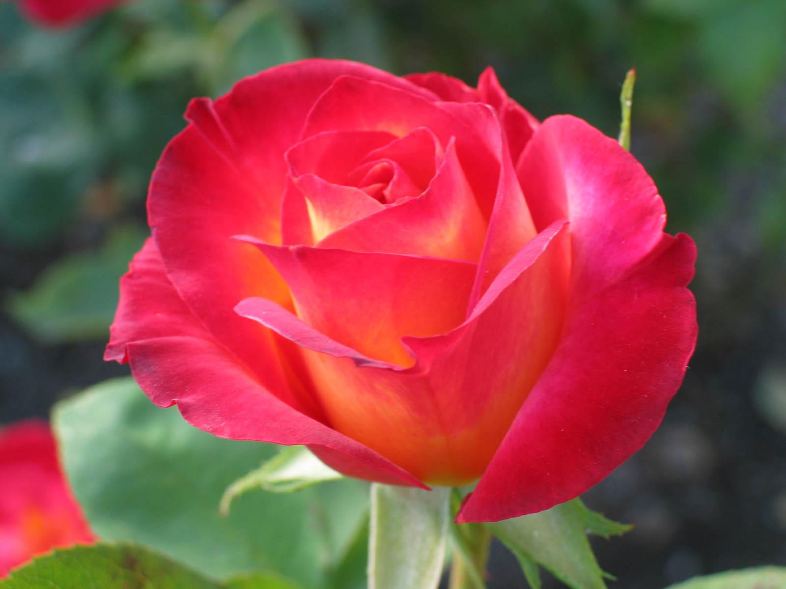 Rosas marchitas Imágenes para facebook