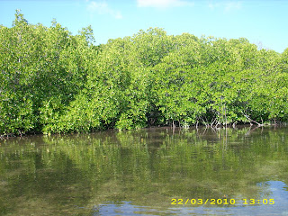 Jenis Gastropoda Mangrove