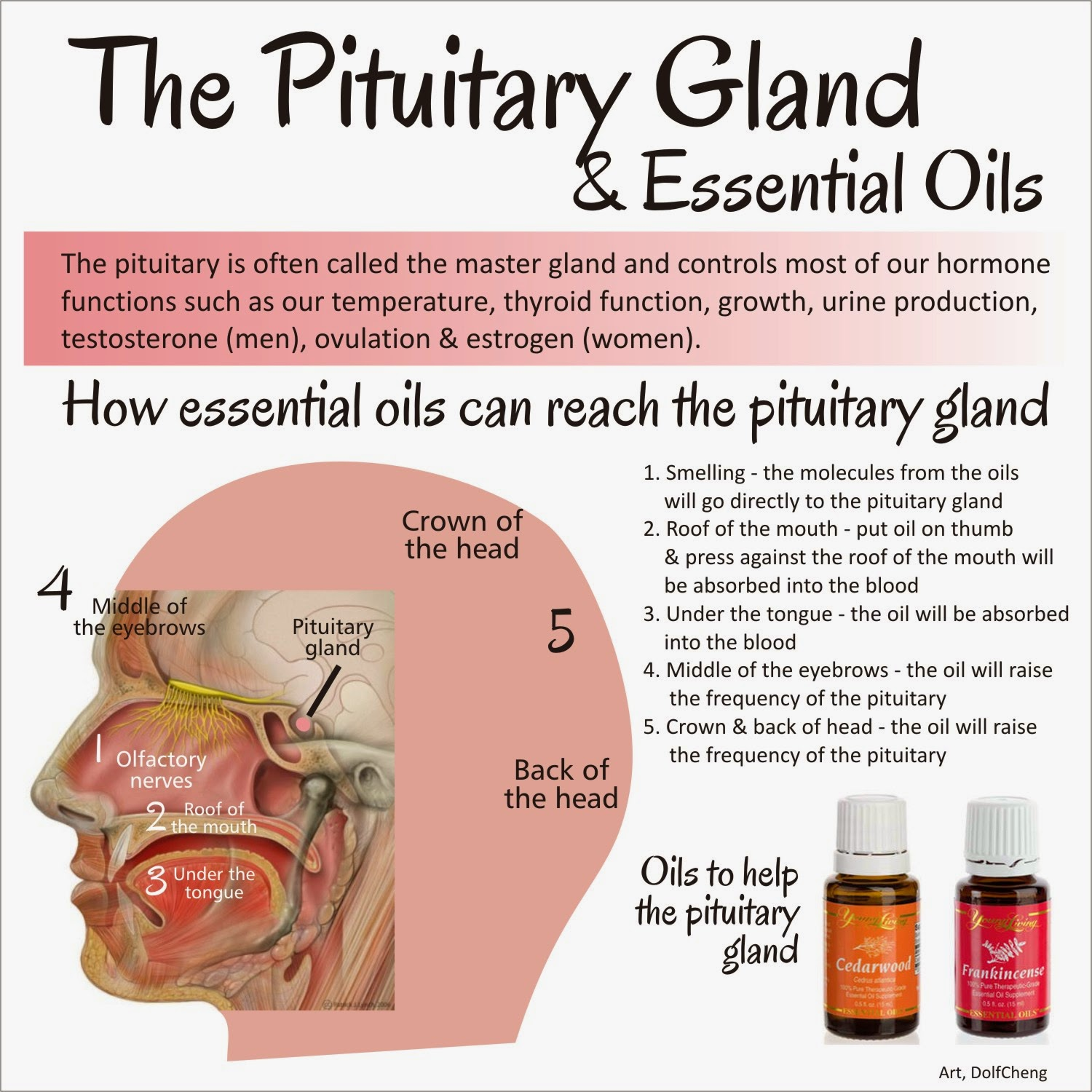 Using Therapeutic Grade Essential Oils To Reach Pituitary Gland