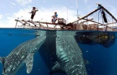 Tiburón Ballena el pez más grande del Mundo (Papua).