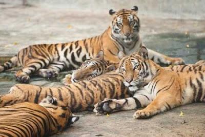 Inilah 33 Fakta Menarik Tentang Harimau [ www.BlogApaAja.com ]