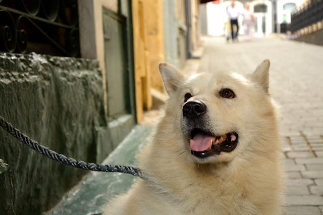 Gibraltar biały pies samoyed