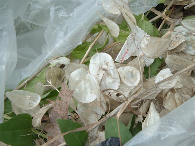 [Photo: garbage bag with various junk from Boulevard Beds, mostly seed pods from #&*!% Lunaria annua.]