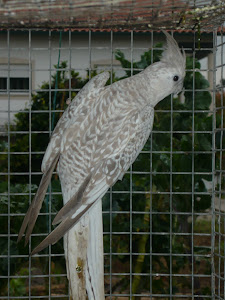 Caturra opalina branca