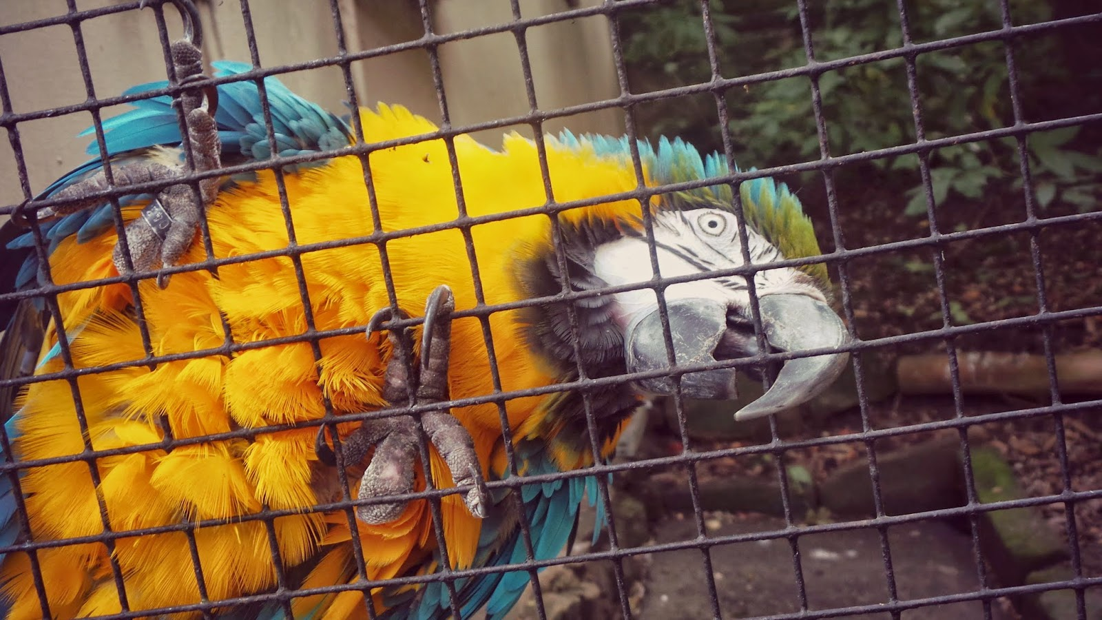 blue and yellow parrot at harewood house bird garden