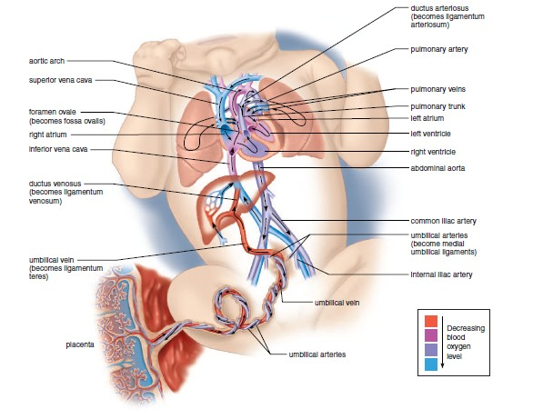 Fetal Circulation Explained with Video ~ MedchromeTube - Best ...