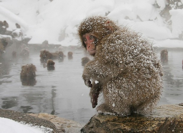 Japanese Monkeys After Snow