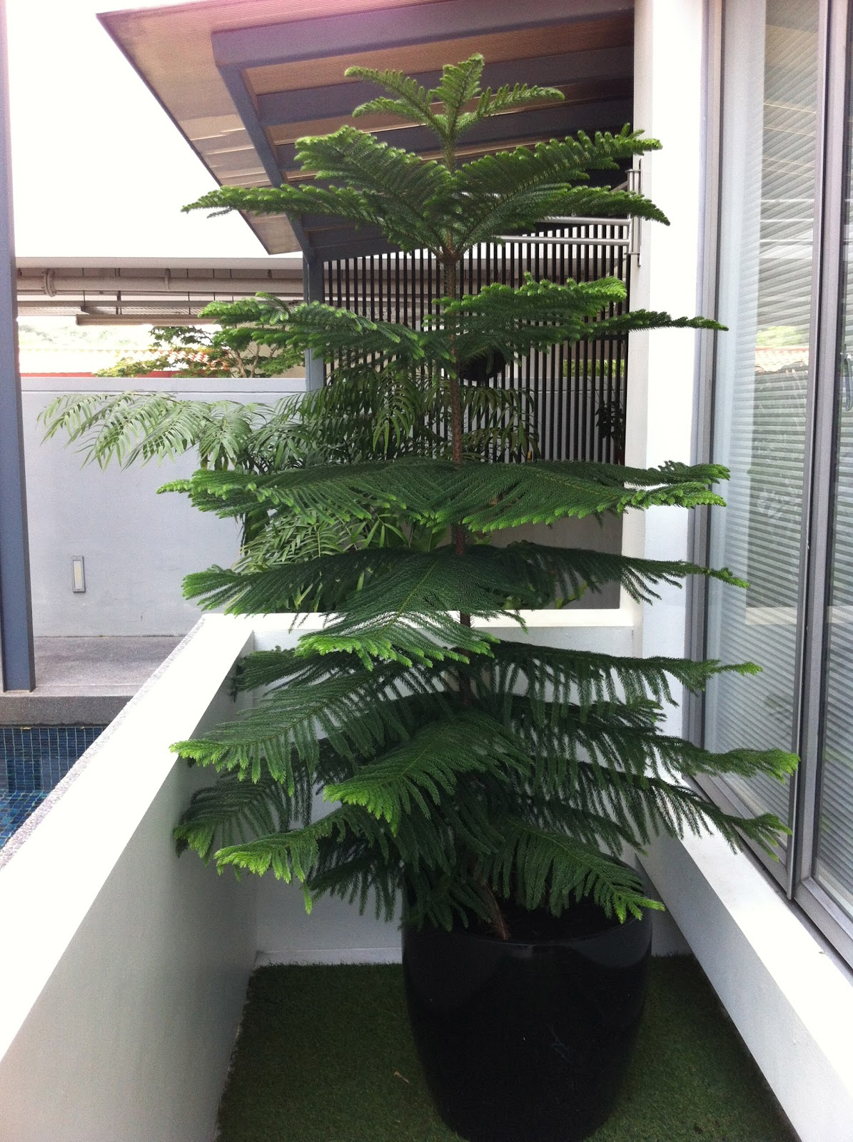 OhiPPo39s Backyard Norfolk Island Pine The Taller One