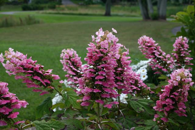 Gatsby Pink oakleaf hydrangea from Proven Winners