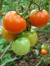 """Tomates """"Cherry"""""""