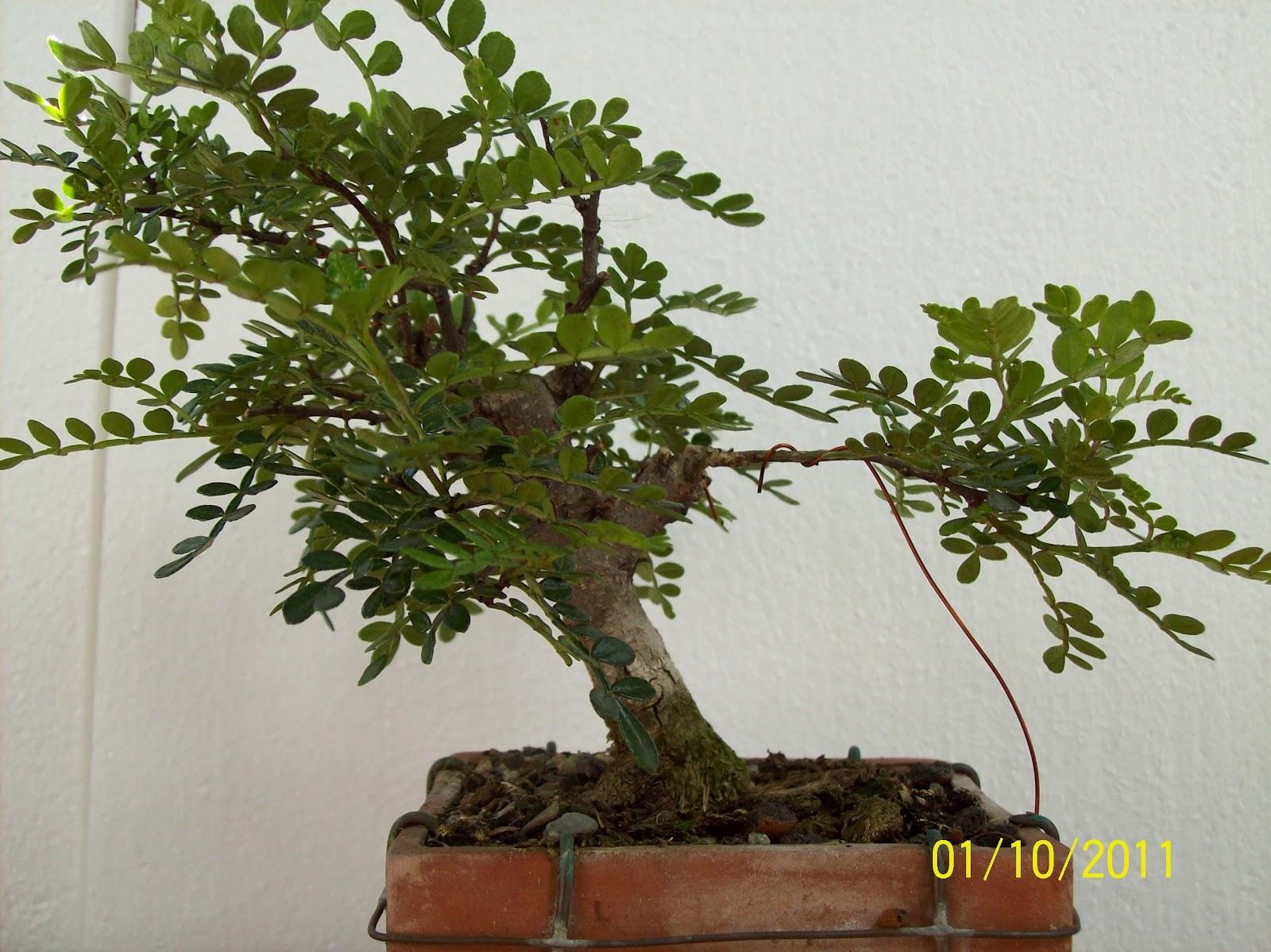 Bonsai Ovidiu Zanthoxylum Piperitum Piper Chinezesc