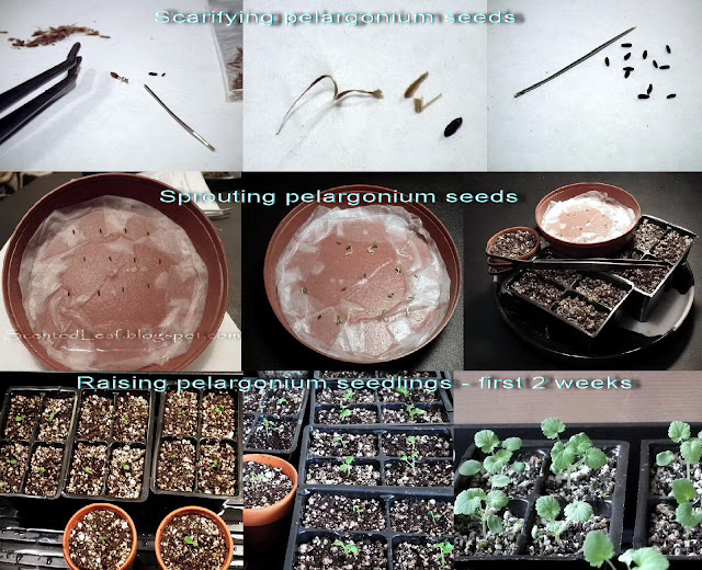 Raising Pelargonium from Seeds - Project Progression