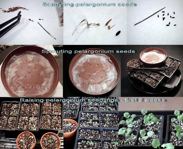 Raising Pelargonium from Seeds - Project Progression