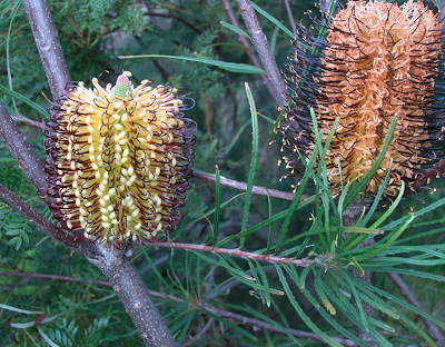 Ice age extinction shaped Australian plant diversity