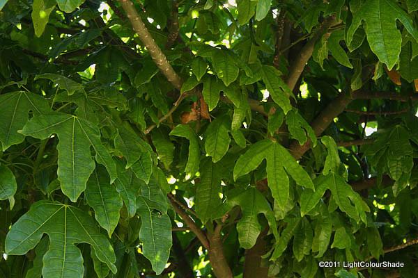 Flame tree foliage (Brachychiton Acerifolius)
