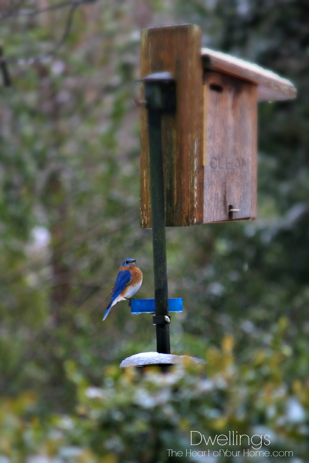 snowy bluebird
