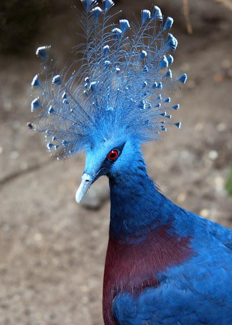 victoria+crowned+pigeon+3 أكبر حمامة في العالمحمامة فكتوريا المتوجة