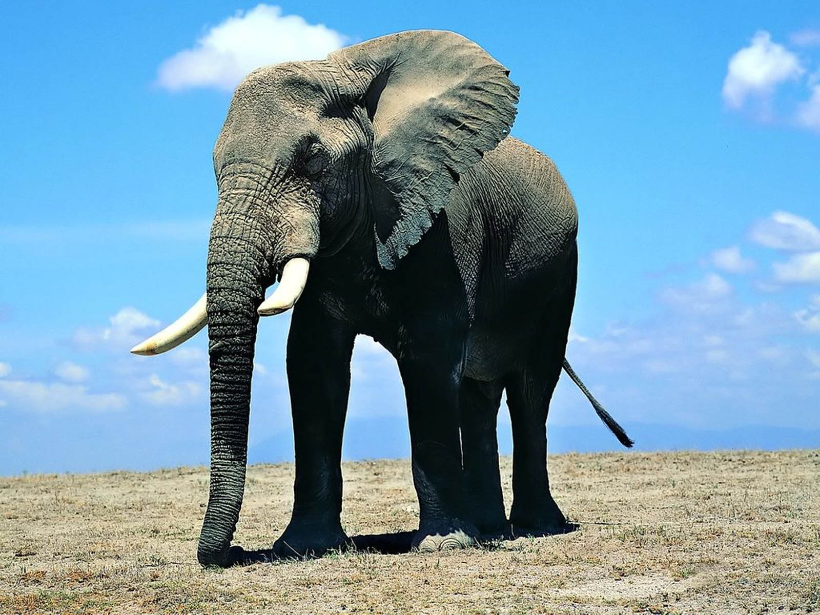 Tag: Elephant Wallpapers, Images, Photos, Pictures and Backgrounds for