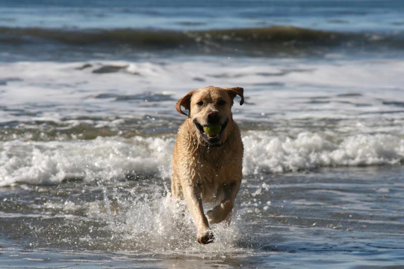 Labrador Cooper running