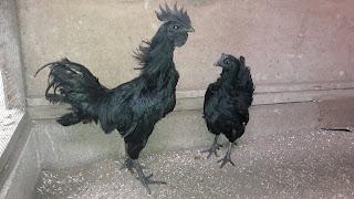 Pahlawan Hitam ini adalah Ayam cemani anak kpd cemani asal yang kami