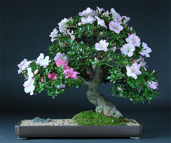 Wedding flowers azalea bonsai for Azalea bonsai