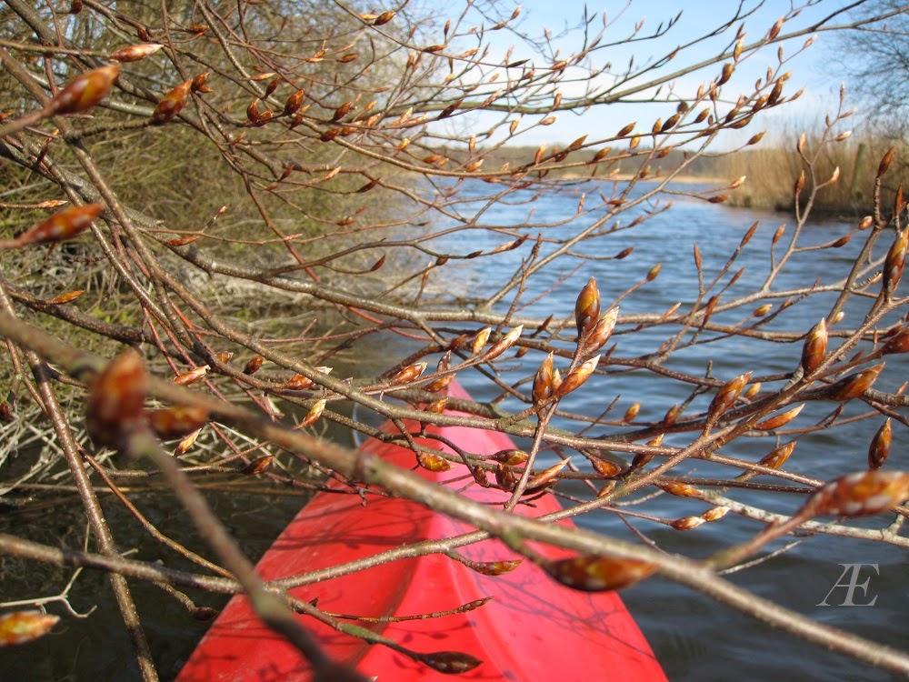 Spidsen af kajak, skud på træ, forår. knopper