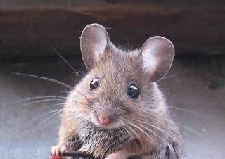 cara menghapuskan tikus