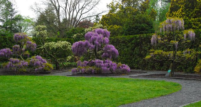 Tree-trained wisteria vines could much more easily fit into a small, urban garden. Here they have planted several purples as well as a scattering of white varieties.