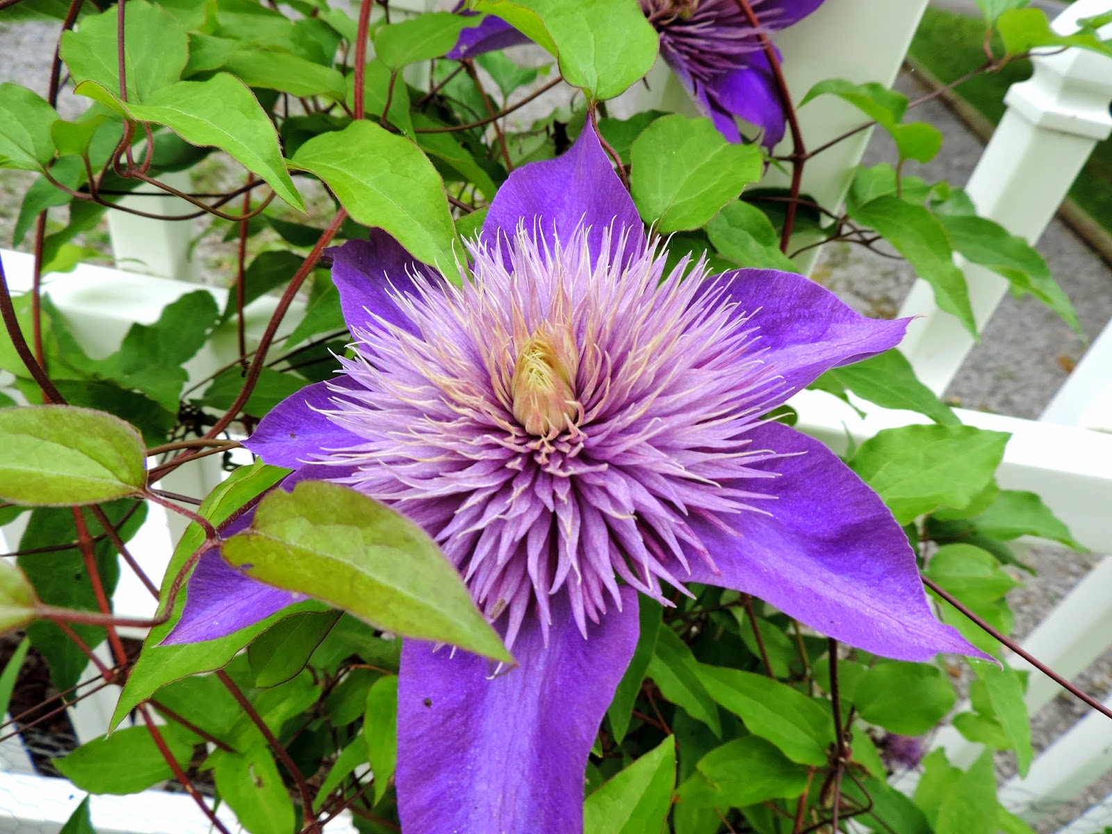 clematis quite a few of the clematises are in bloom now i took these photos are from a friend s garden sue o they look beautiful on her white fence