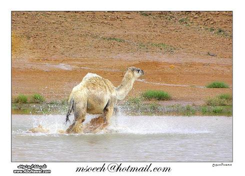سفينة الصحراء والماء