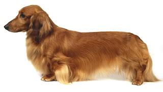 ... kg wire haired minature dachshund chocolate tan smooth coat dachshund