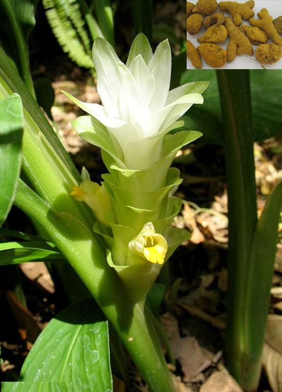 Curcuma longa L. (Fam. Zingiberaceae)