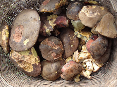 Orawa, Lipnica Wielka, grzybobranie w sierpniu, grzyby sierpniowe, borowik ceglastopory, Boletus luridiformis, Cantharellus amethysteus pieprznik ametystowy