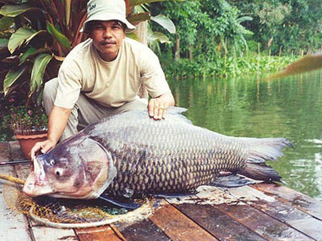 [Khám Phá] - Huyền thoại cá thầy chùa trên dòng Cửu Long 9