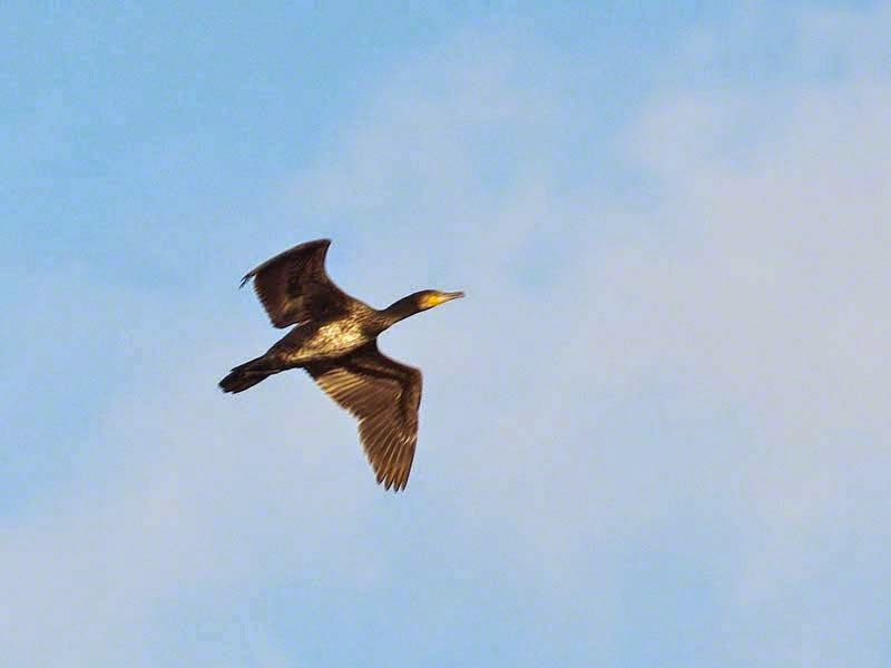 Phalacrocorax carbo, bird, cormorant, flying