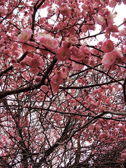 cherry blossom photograph