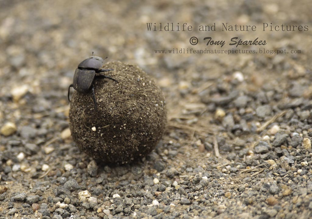 Dung Beetles, Natures most industrious insects and one of wildlife's smallest creatures
