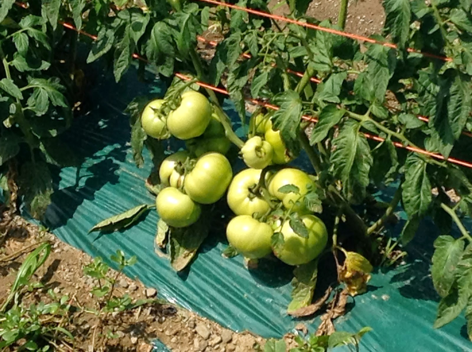 organic tomatoes in progress