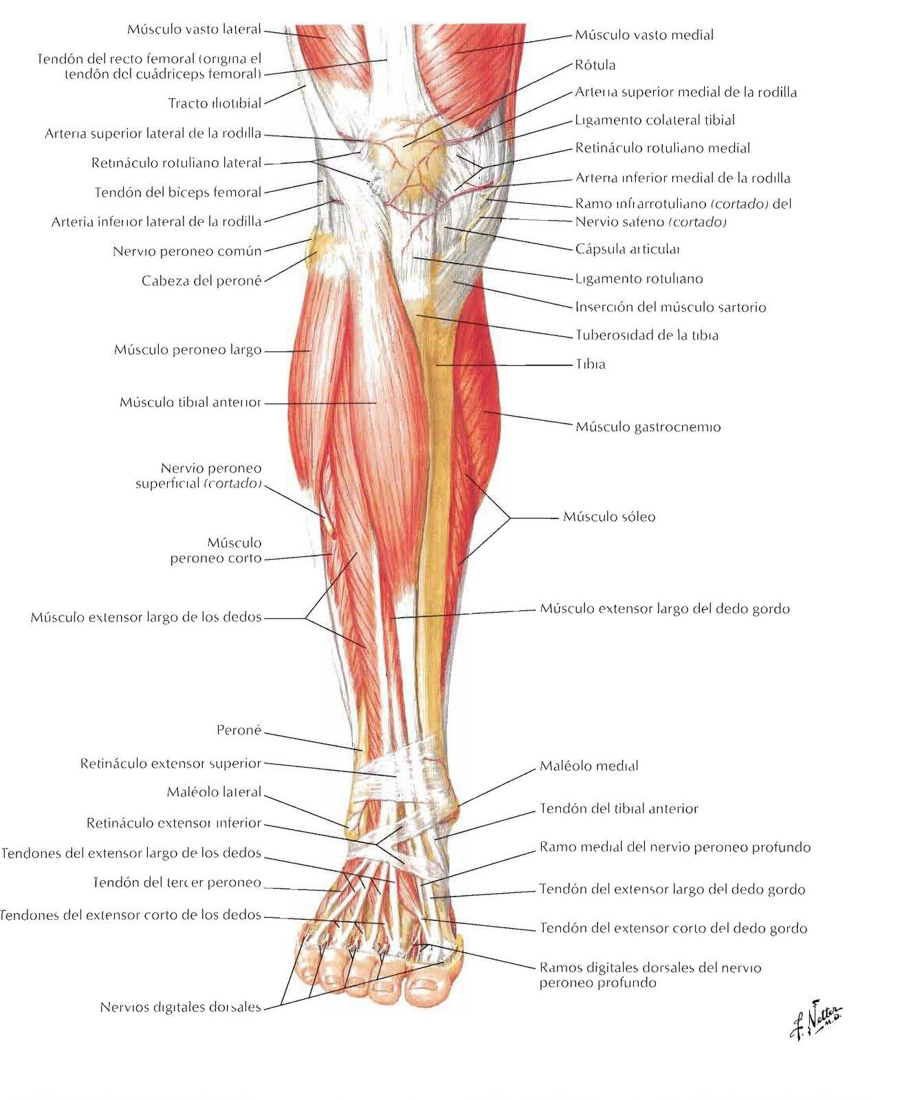 Fantástico Inferiores Músculos Y Tendones De La Pierna Anatomía ...