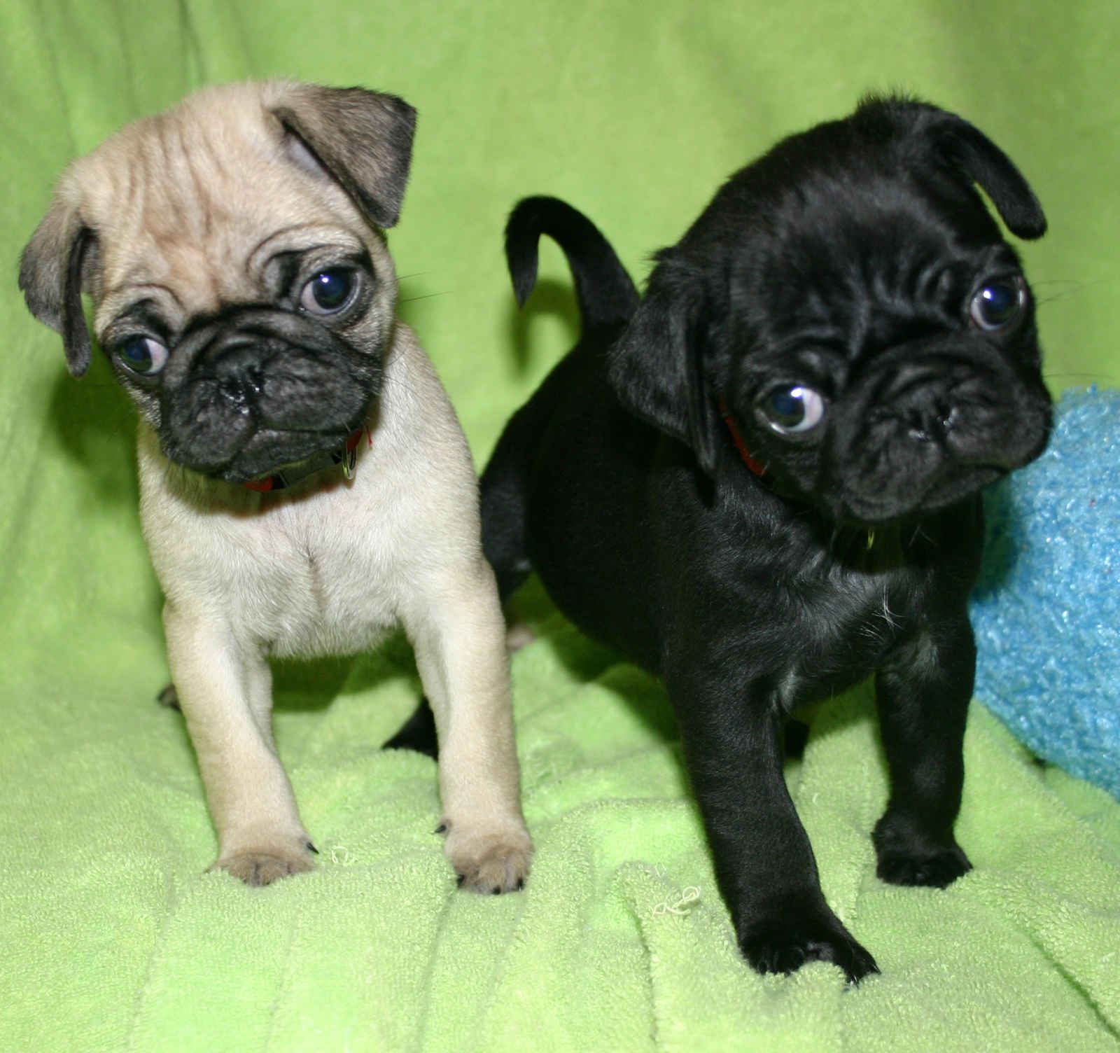 Cute Puppy Dogs Cute Pug Puppies