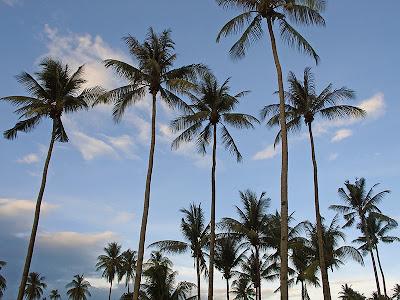 Palmiers à Koh Lanta