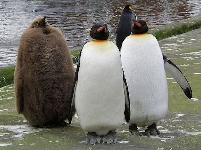 3 adult emperor penguins with one emperor penguin chick