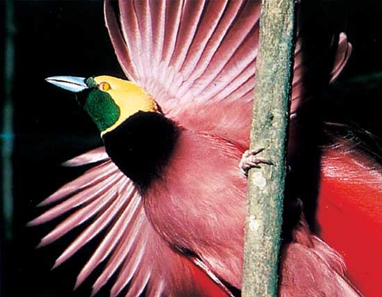The Raggiana Bird Of Paradise Dikenal Juga Dengan Nama Count Raggis Bird Of Paradise Burung Ini Juga Yang Paling Dikenal Sebagai Burung Cendrawasih
