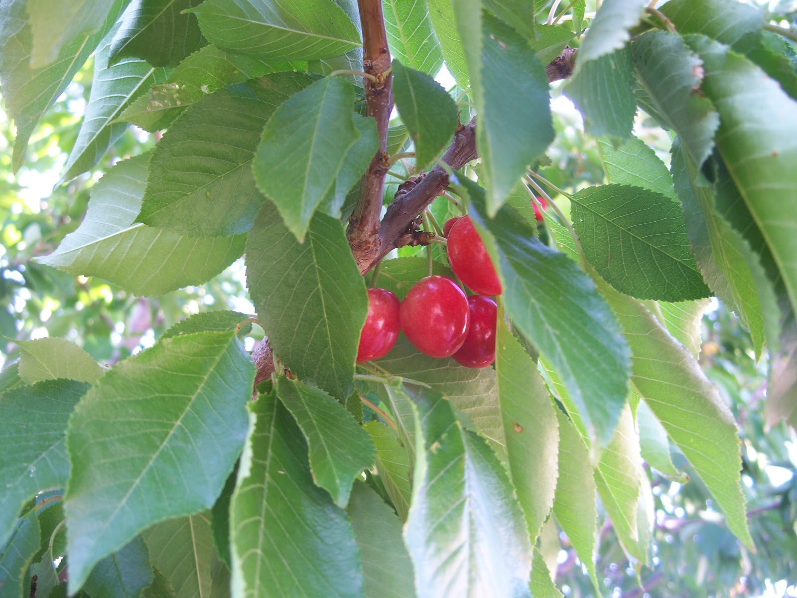 Trees that please nursery plant fruit trees this fall - Planting fruit trees in autumn ...