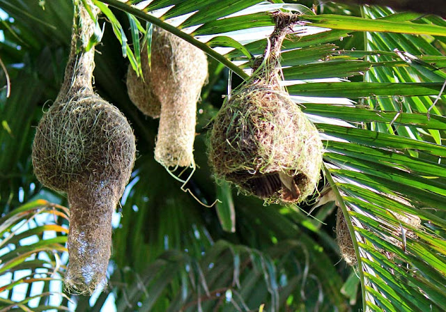 weaver birds nests hanging from trees